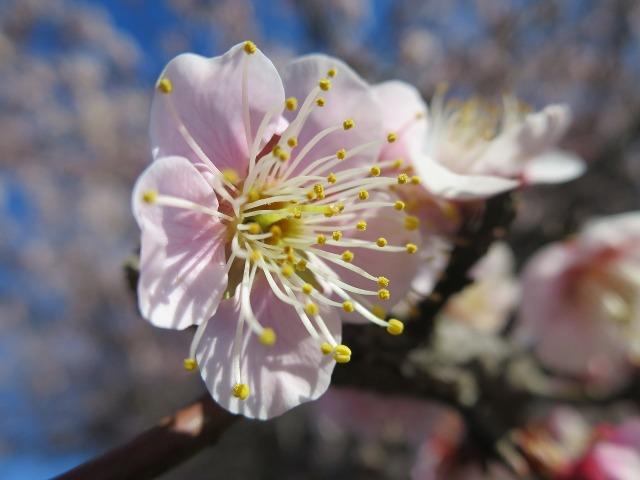 梅のめしべ、おしべ、花粉