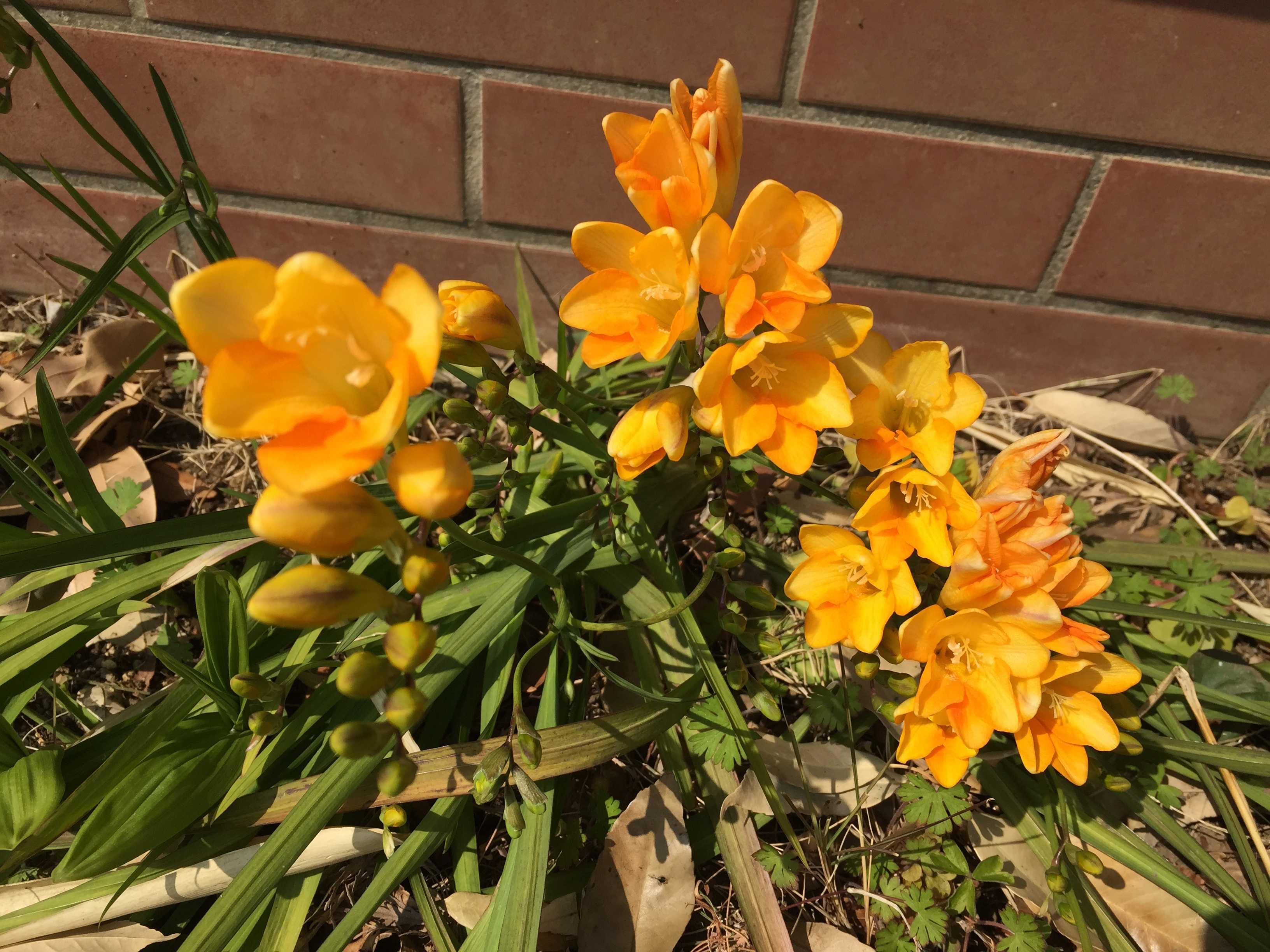 花壇のフリージア