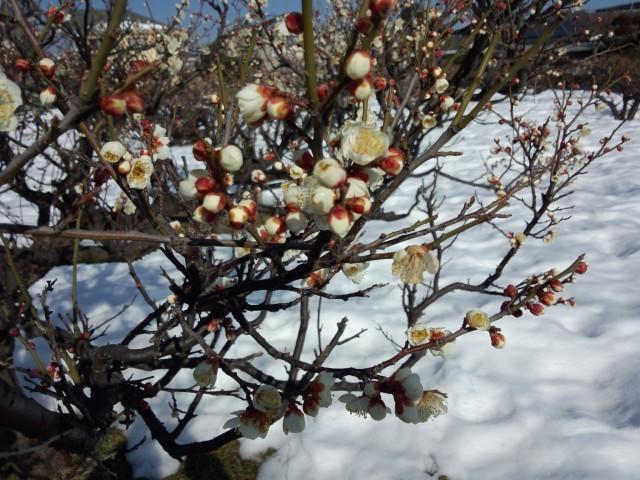 雪の中の梅の花