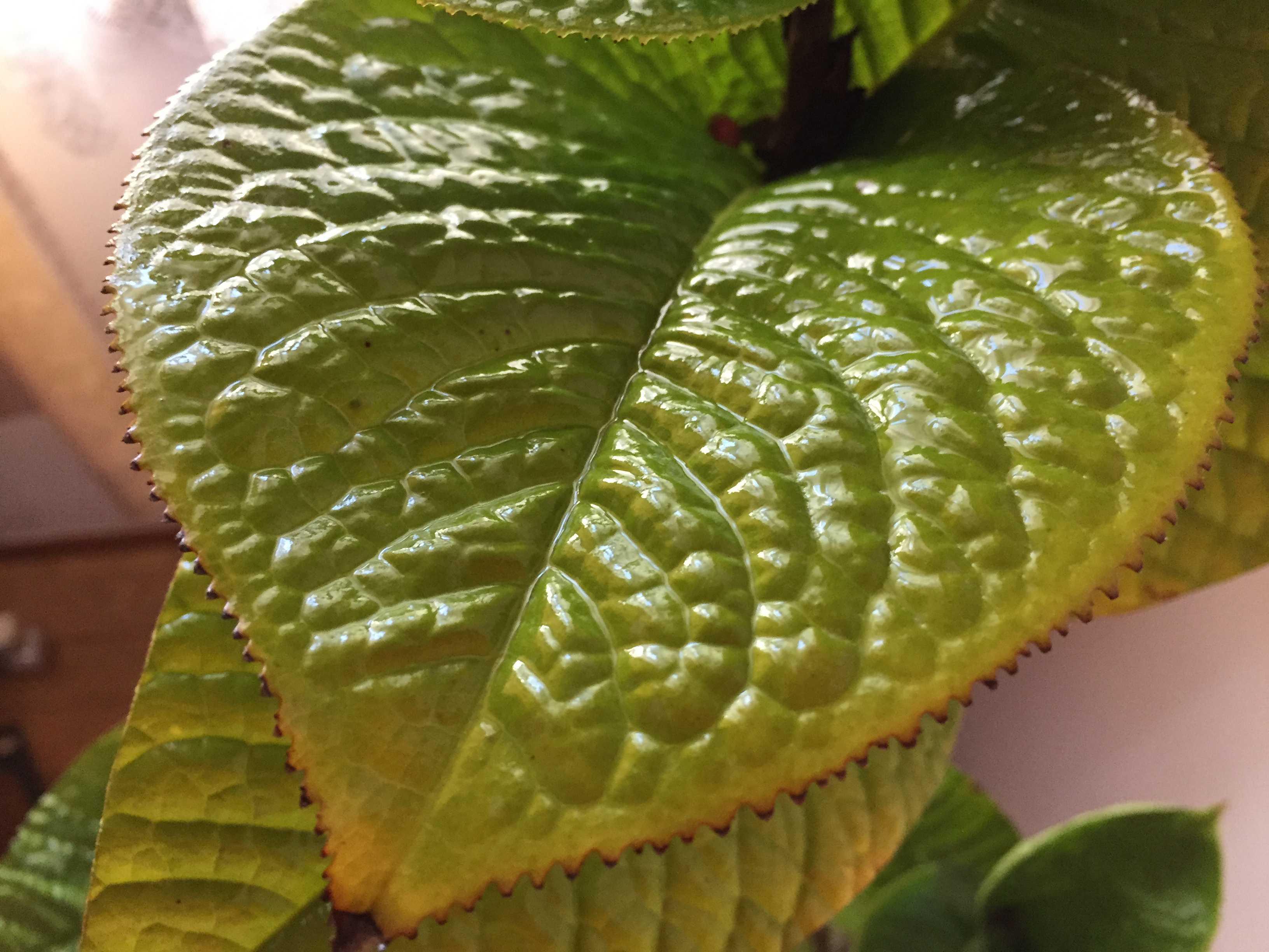 葉水(はみず)直後の「ムラウチイ」の葉っぱ