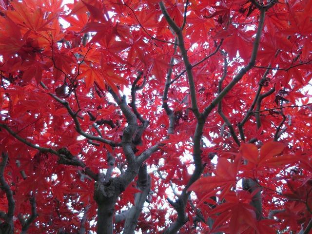 モミジの赤い葉っぱ