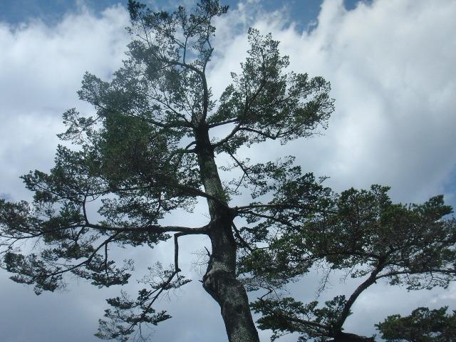 清水寺の木