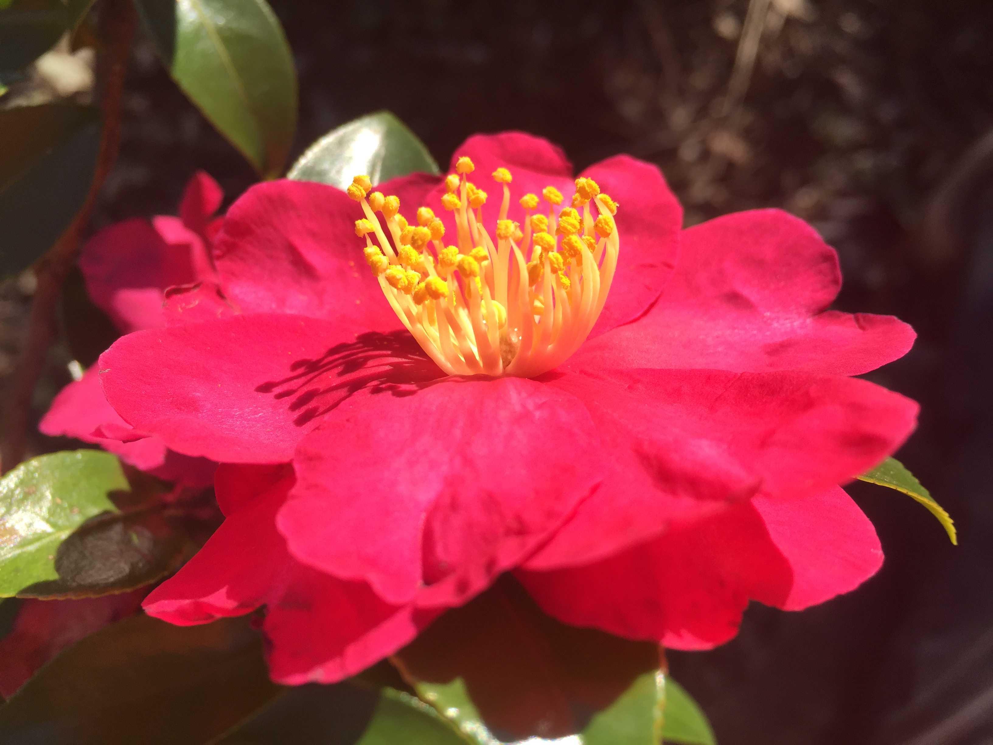 紅色八重咲きのさざんか - カンツバキ群