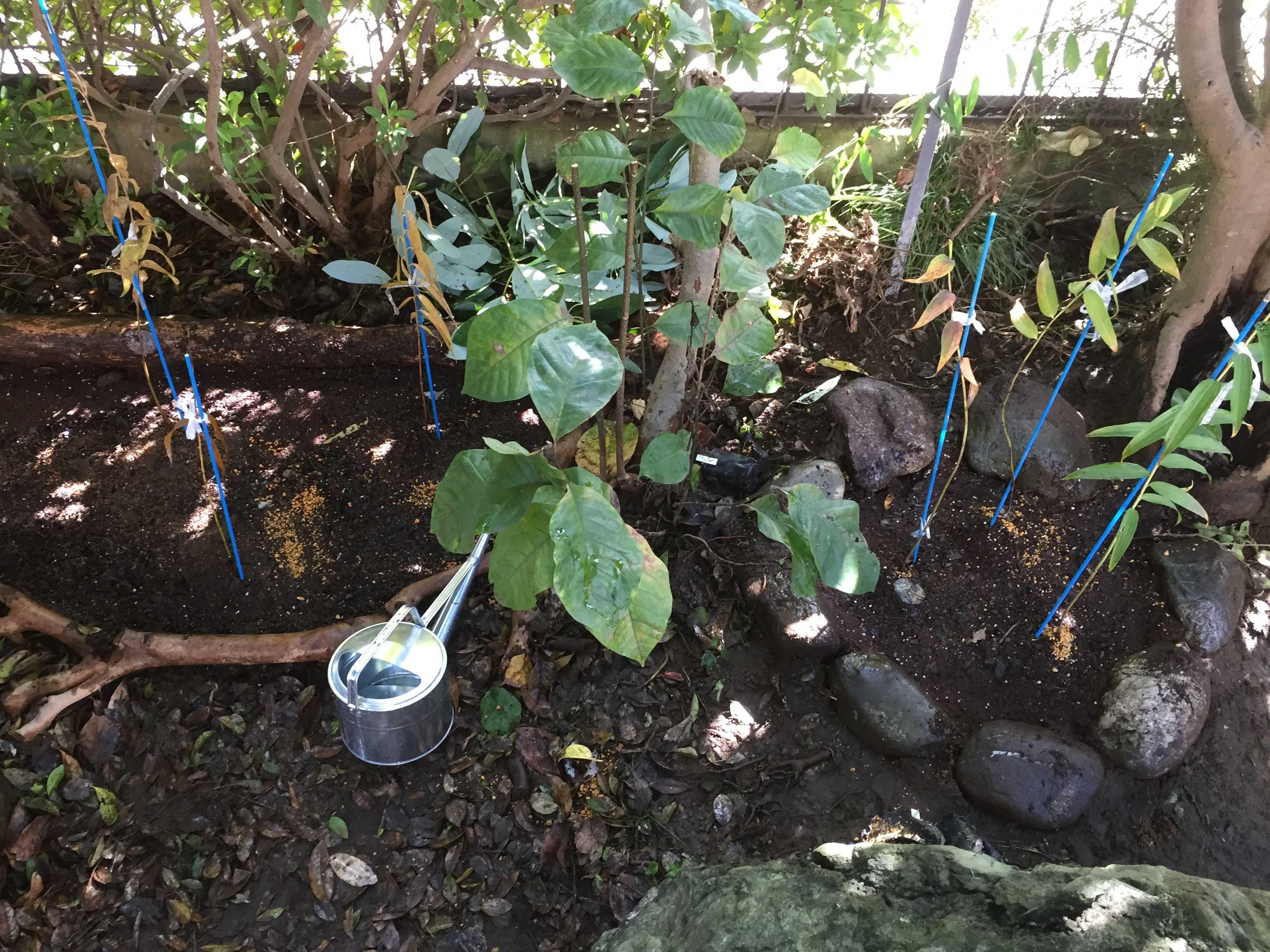 ヤマユリ庭植え - 苗木