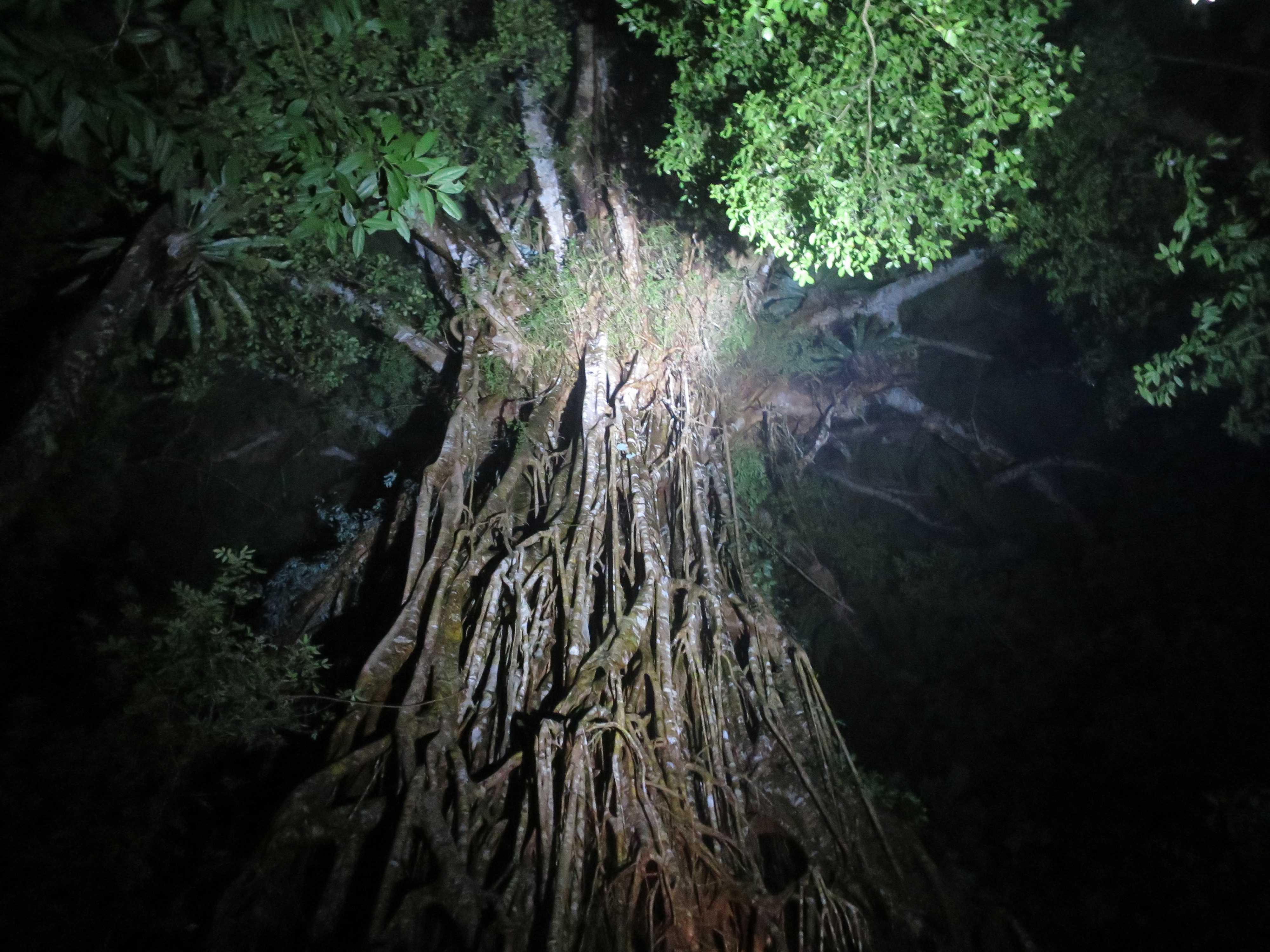 オーストラリア・ケアンズ 神秘的な聖堂の樹(カセドラル フィグツリー)
