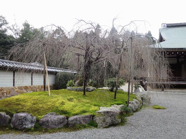 苔寺(西芳寺)の冬のしだれ桜