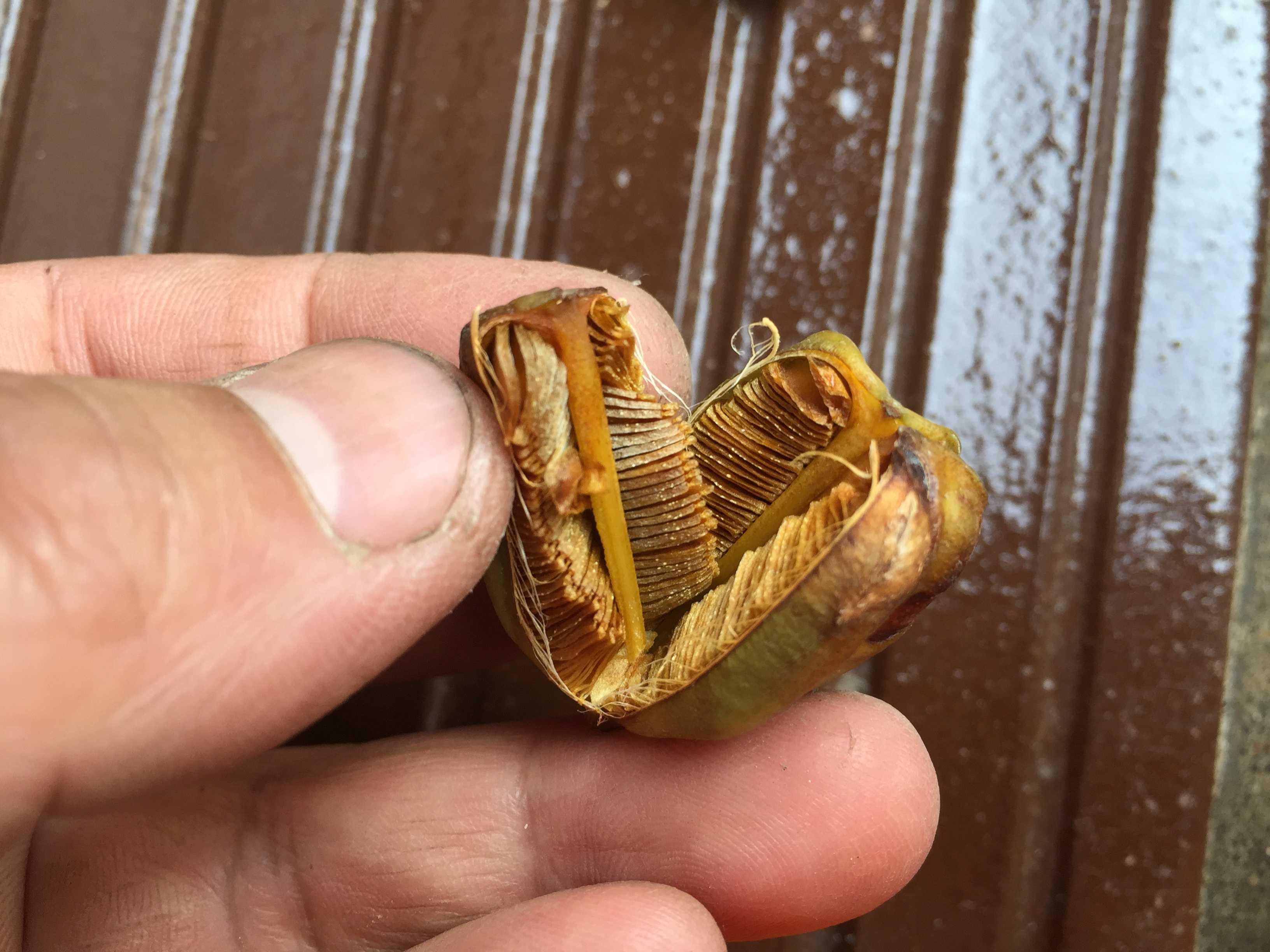 ヤマユリの種子繁殖/実生 - 種(タネ)