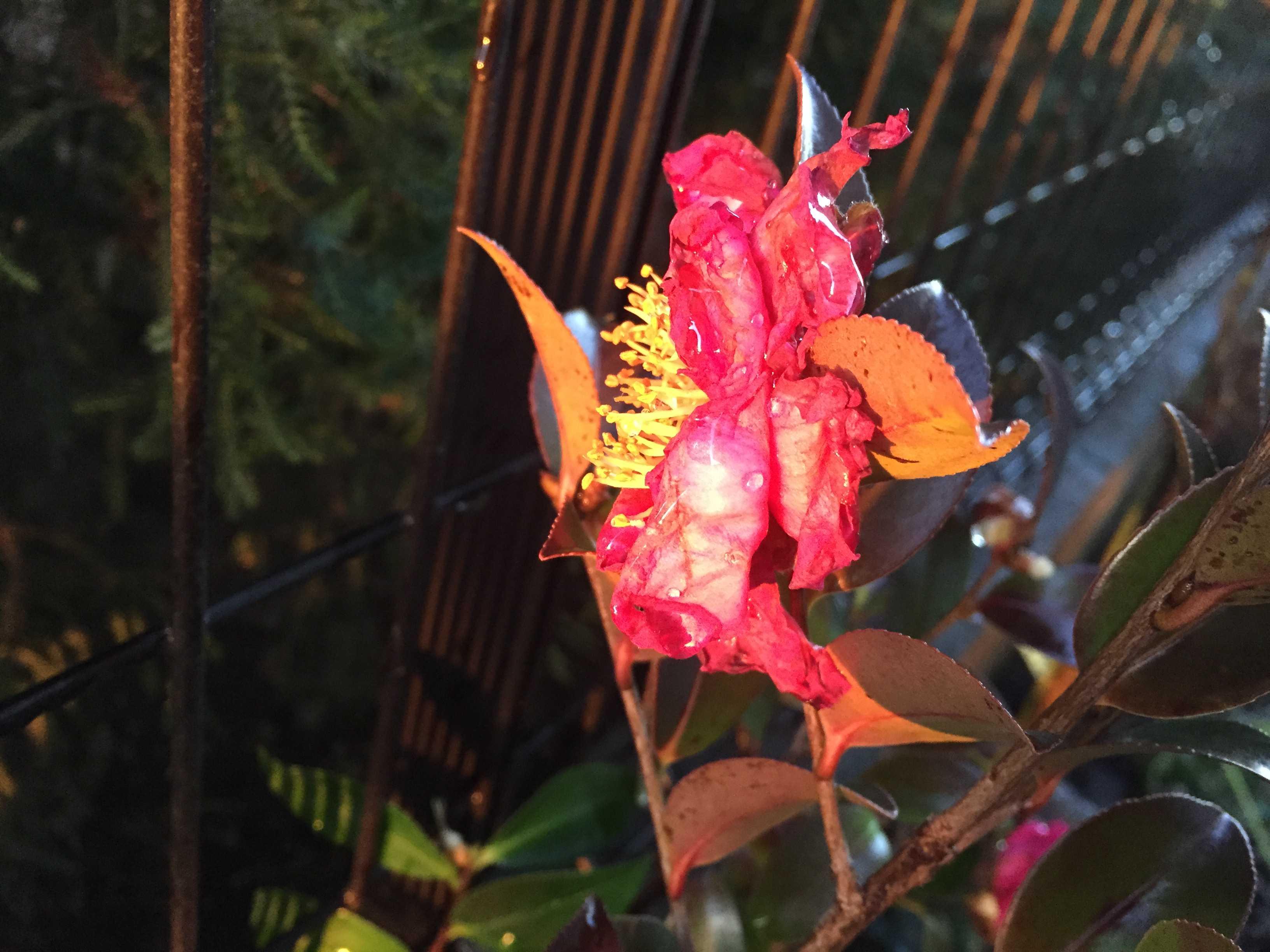 夕陽に照らされる山茶花のタチカン(立寒椿)