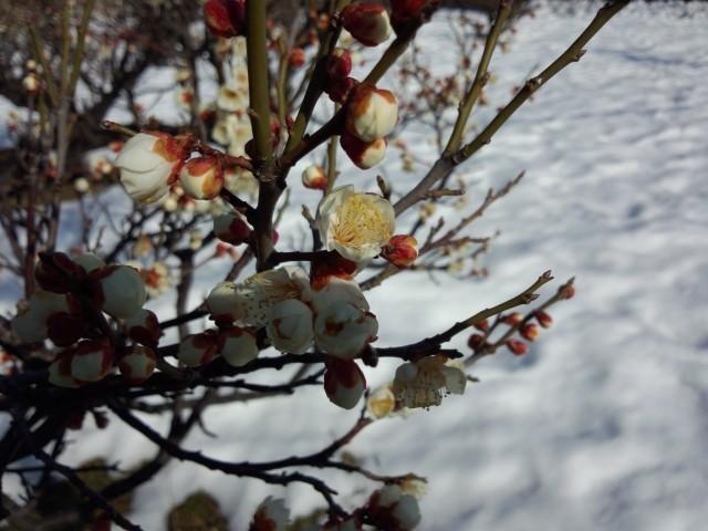 梅の花(白梅)