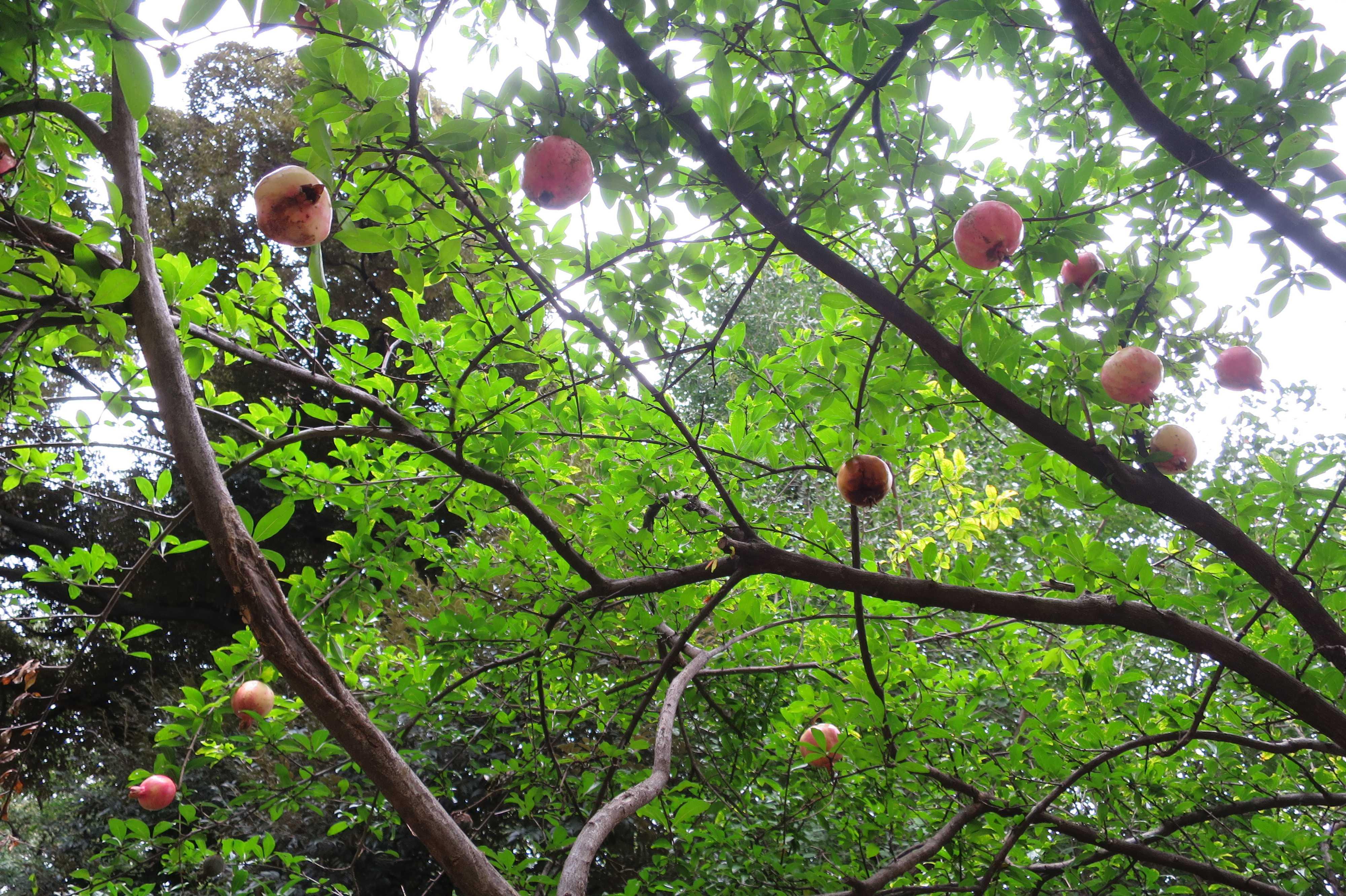 鬼子母神堂 - 美しいグリーンのザクロの葉っぱと実ったザクロの実