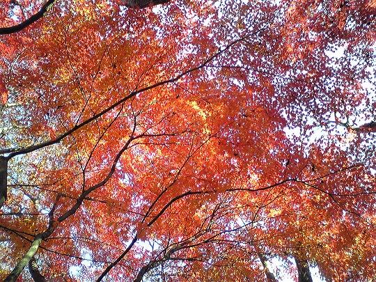 拓殖大学(八王子キャンパス)の真っ赤な紅葉