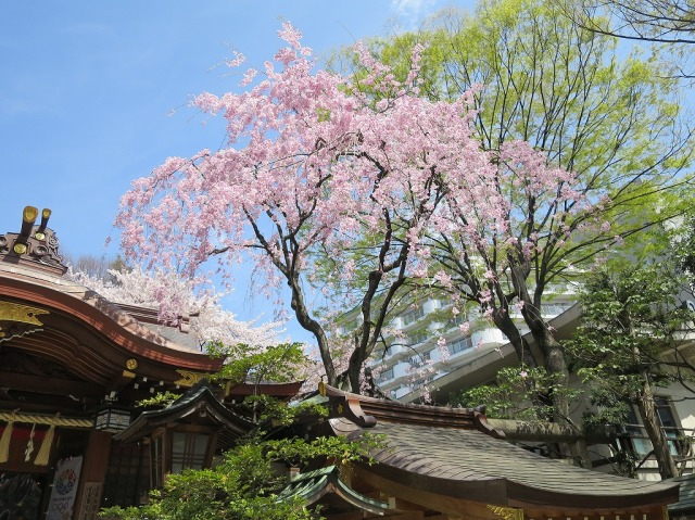 子安神社(東京都八王子市)の枝垂れ桜