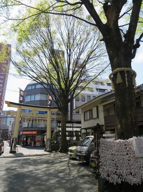 子安神社境内の欅(ケヤキ)