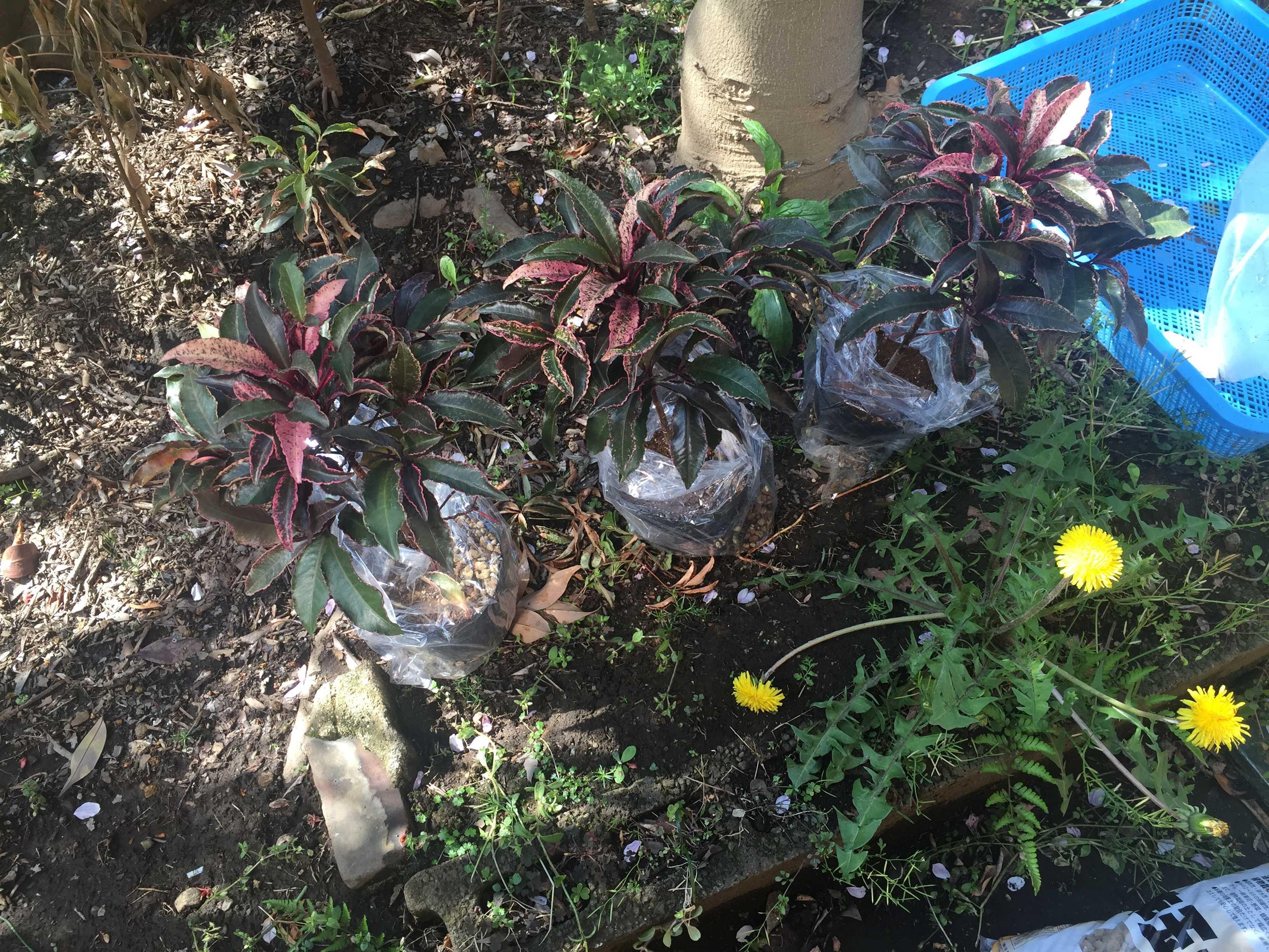 紅孔雀の植え付け