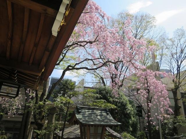 子安神社の満開の枝垂れ桜