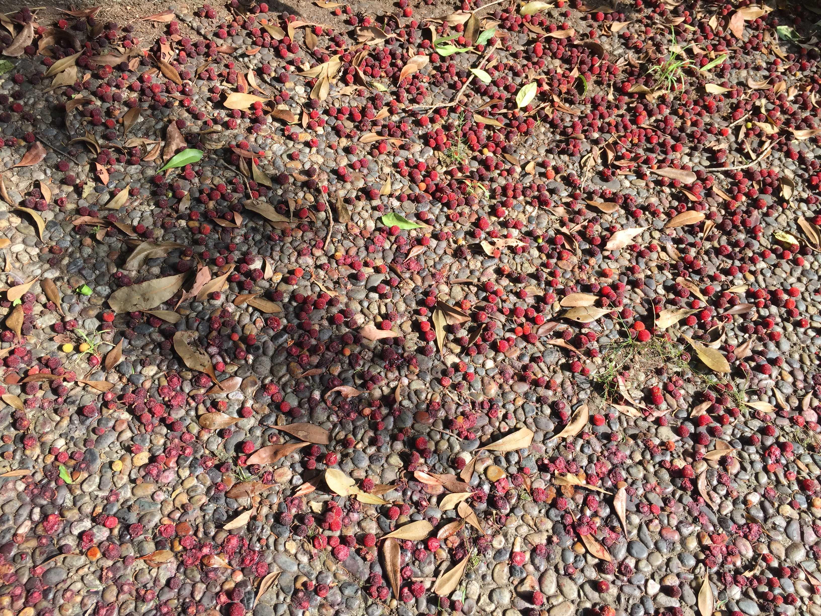 多摩ニュータウンに落ちていた赤い木の実