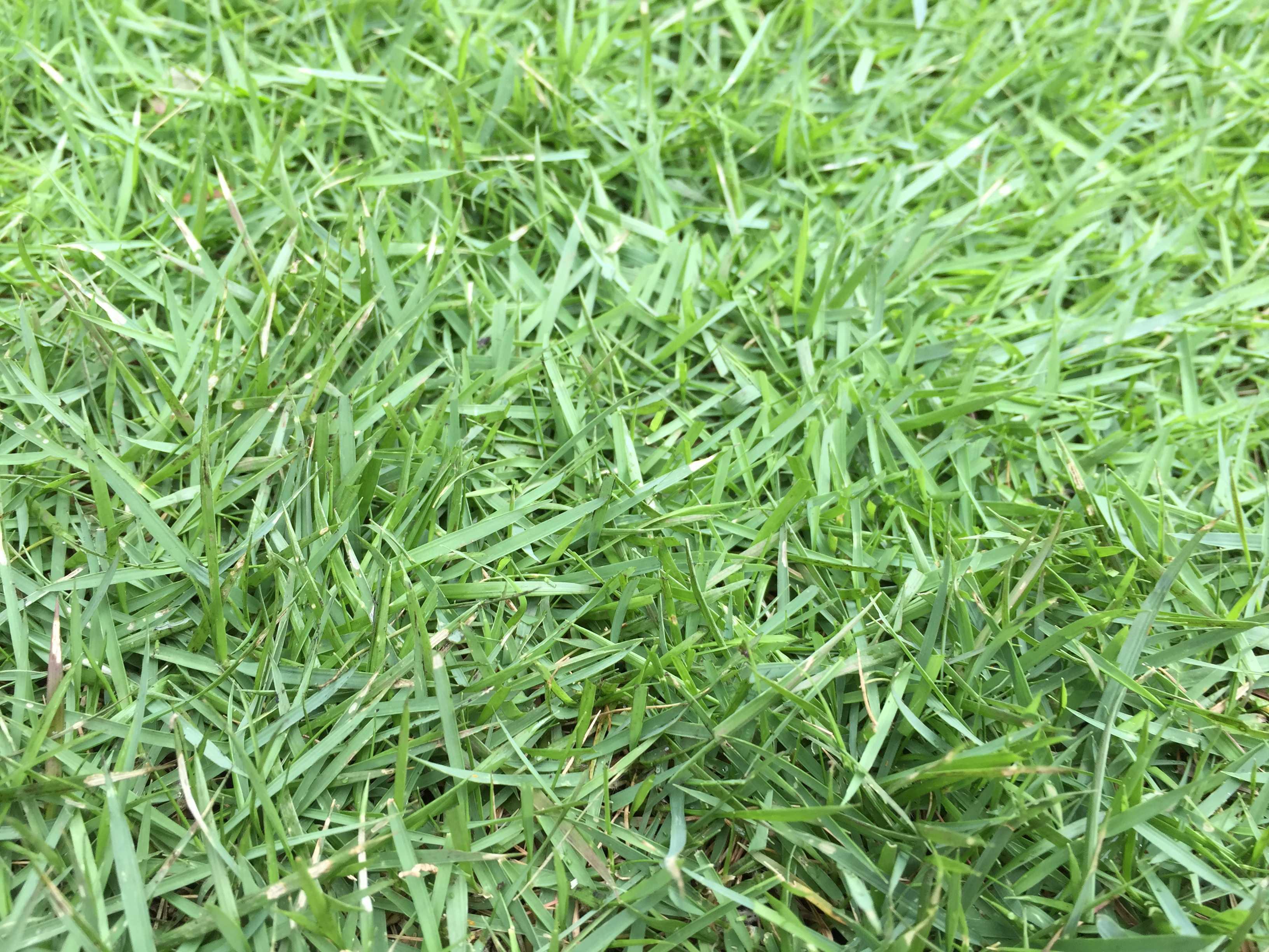 刈った後の芝