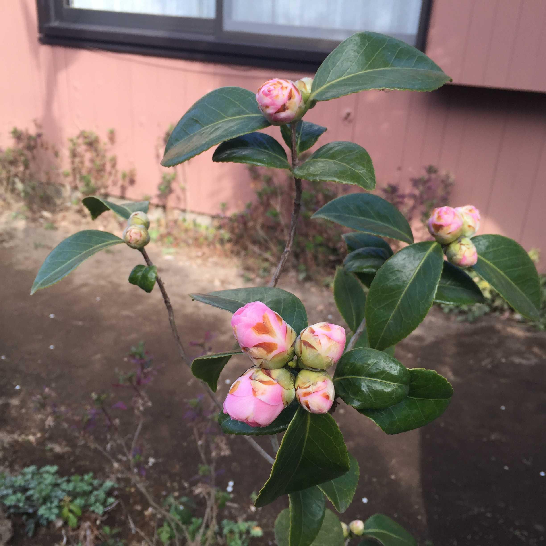 3月中旬の乙女椿(オトメツバキ)のツボミ