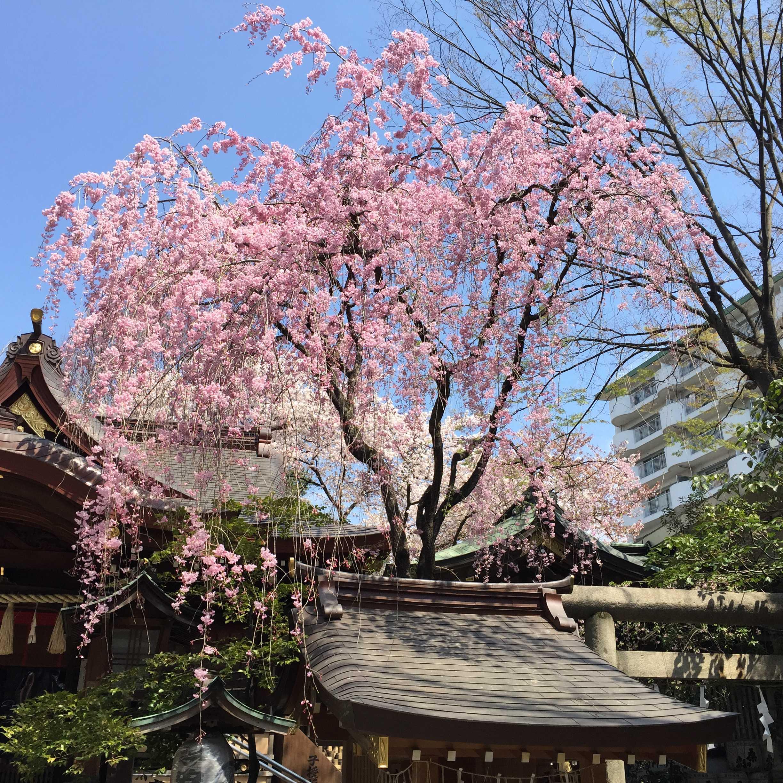 子安神社の左近桜