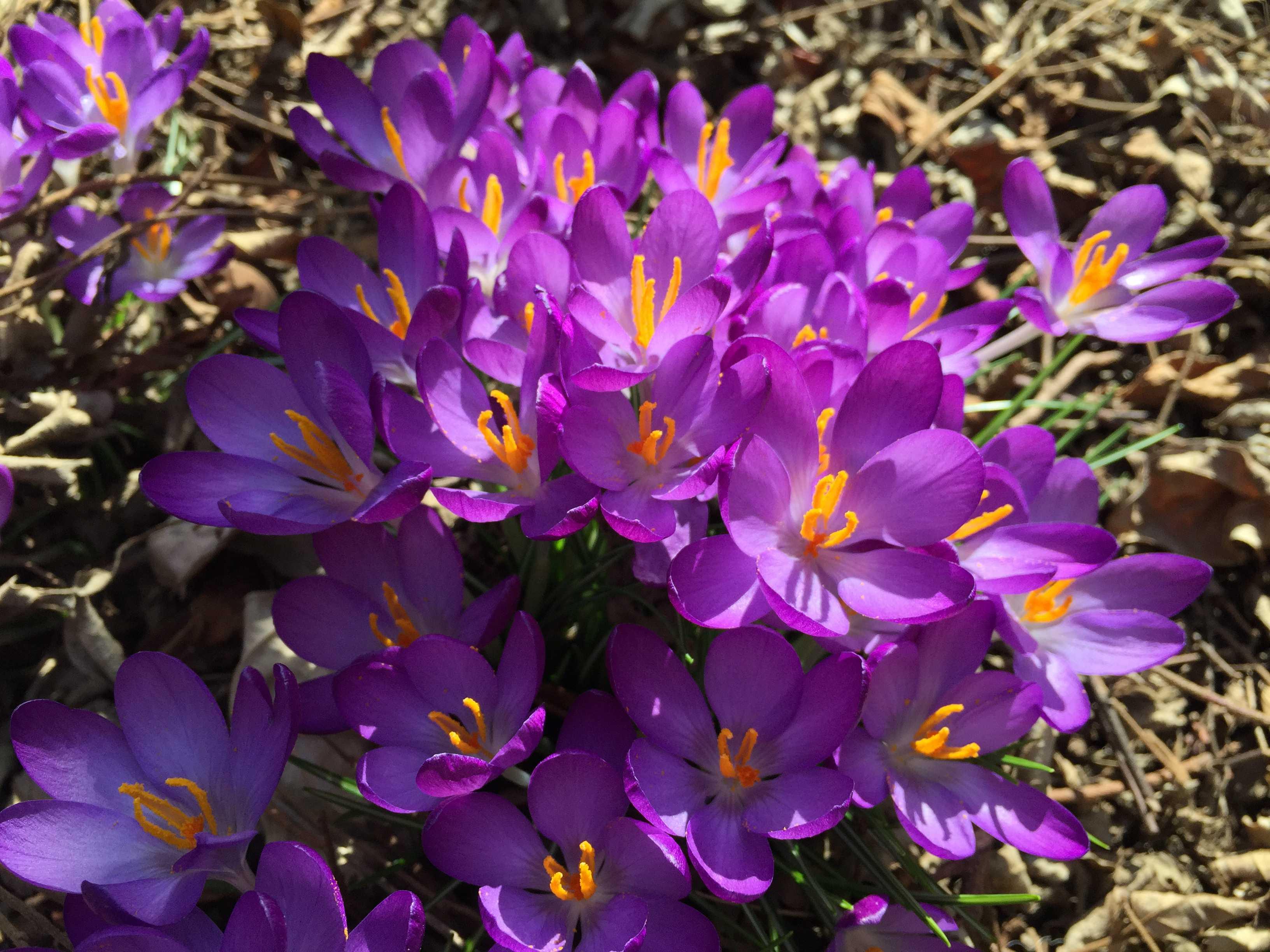 春告花 - 紫色のクロッカス