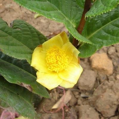 ベトナム産の黄色椿 - ムラウチイ(ムラウチィ)