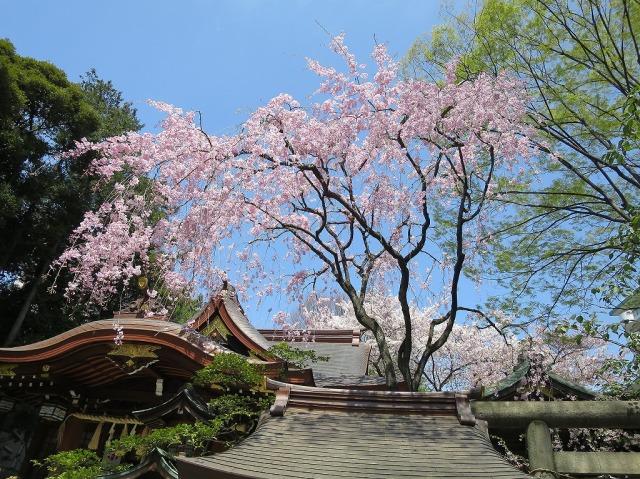 青空としだれ桜(八王子市)