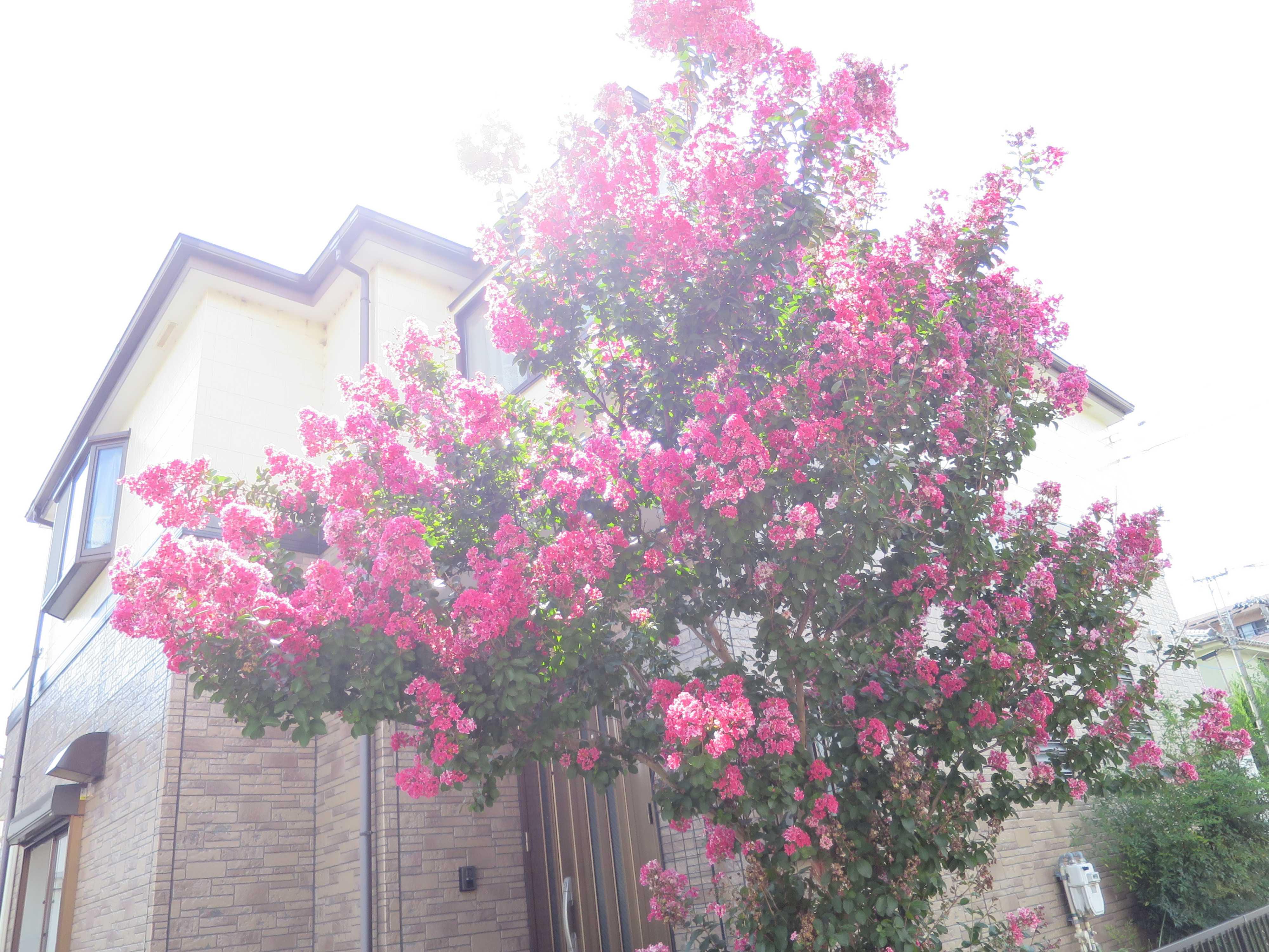 夏の可憐なピンクの花、サルスベリ(百日紅)を大大激写!