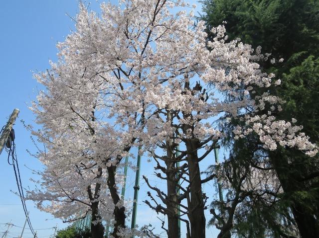 南多摩中等教育学校の桜