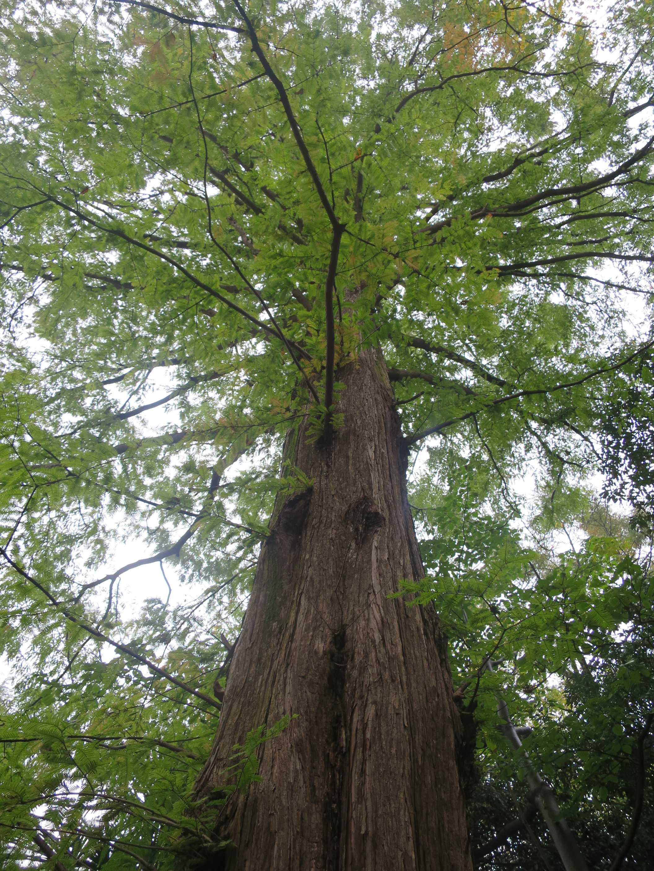 メタセコイヤの大木