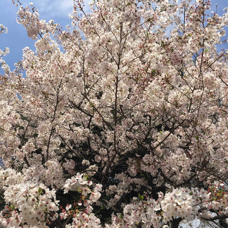 東京都立南多摩中等教育学校の満開の桜
