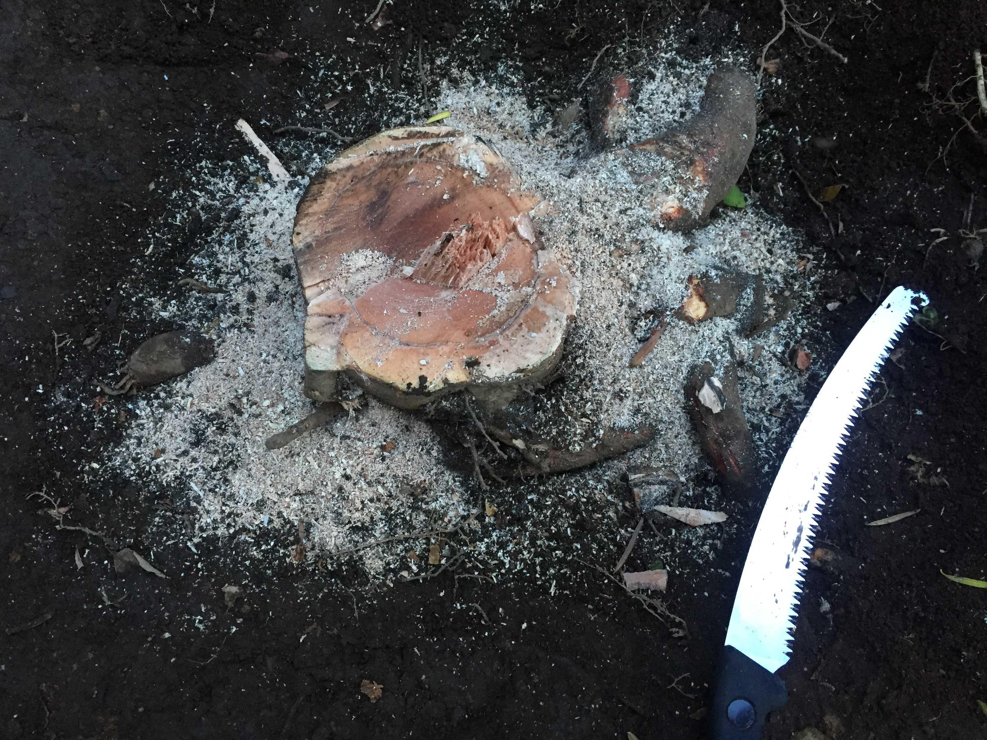 抜根(根を抜く作業)する椿(ツバキ)の木の切り株