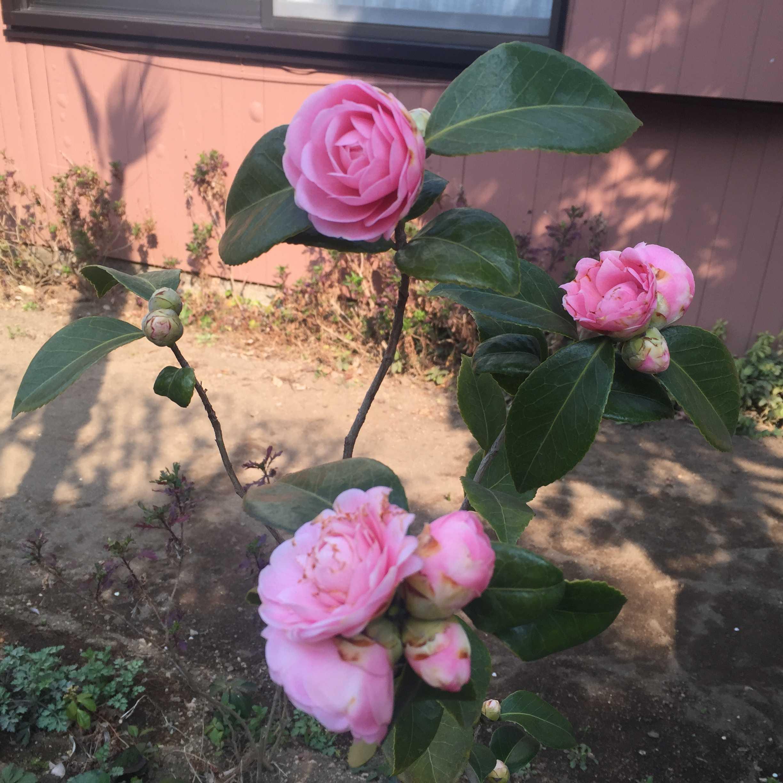 淡乙女(ウスオトメ)の花
