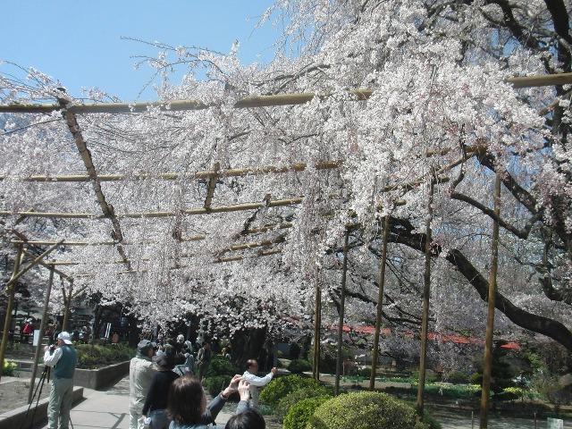 実相寺の桜の棚