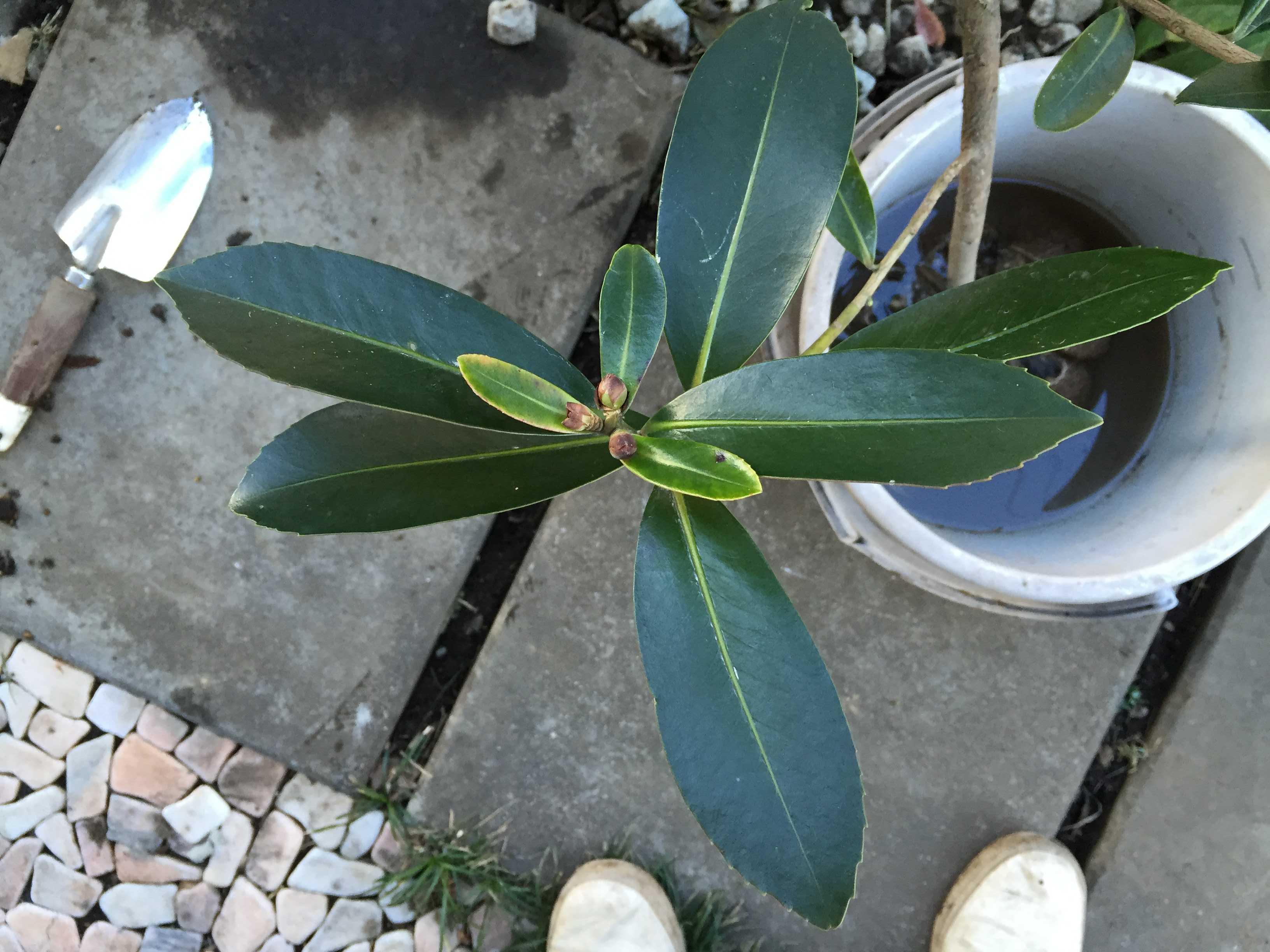 台湾椿「ゴードニア」の葉