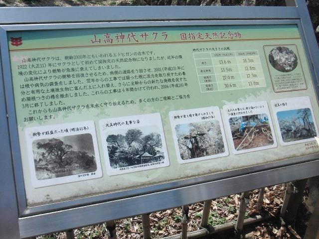 山高神代ザクラ 国指定天然記念物