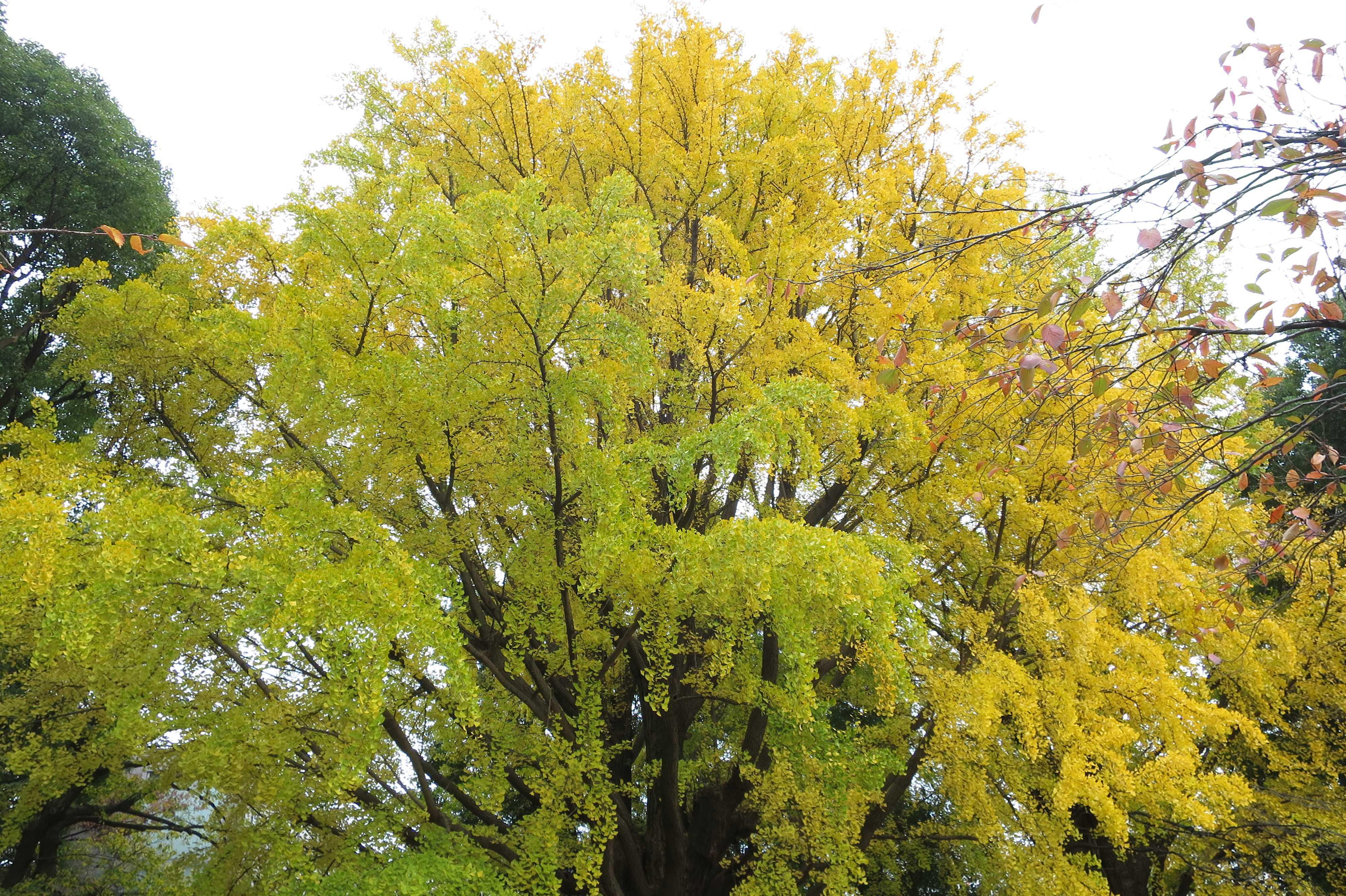 黄色いイチョウ - 上野公園