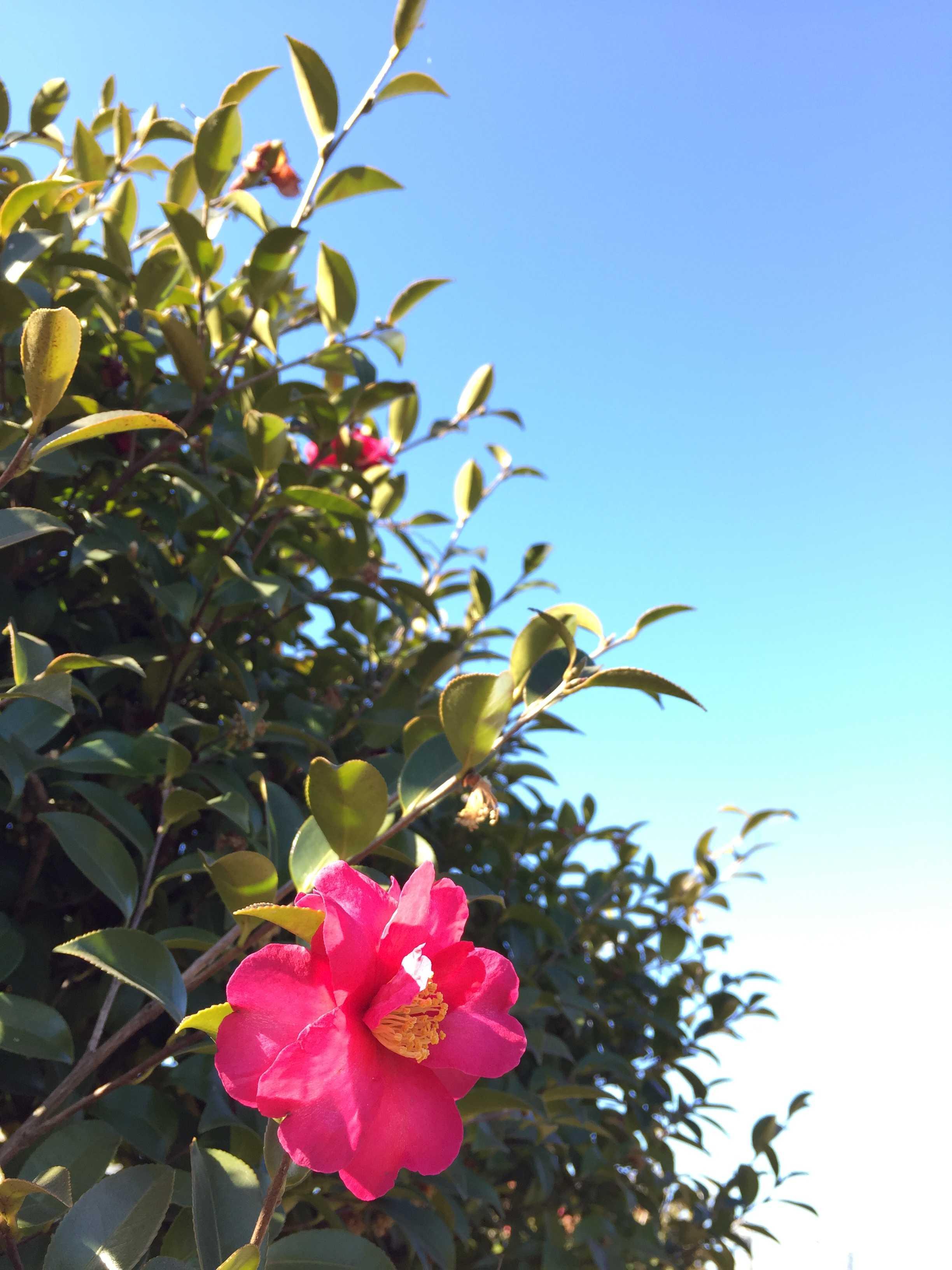 冬の花・山茶花