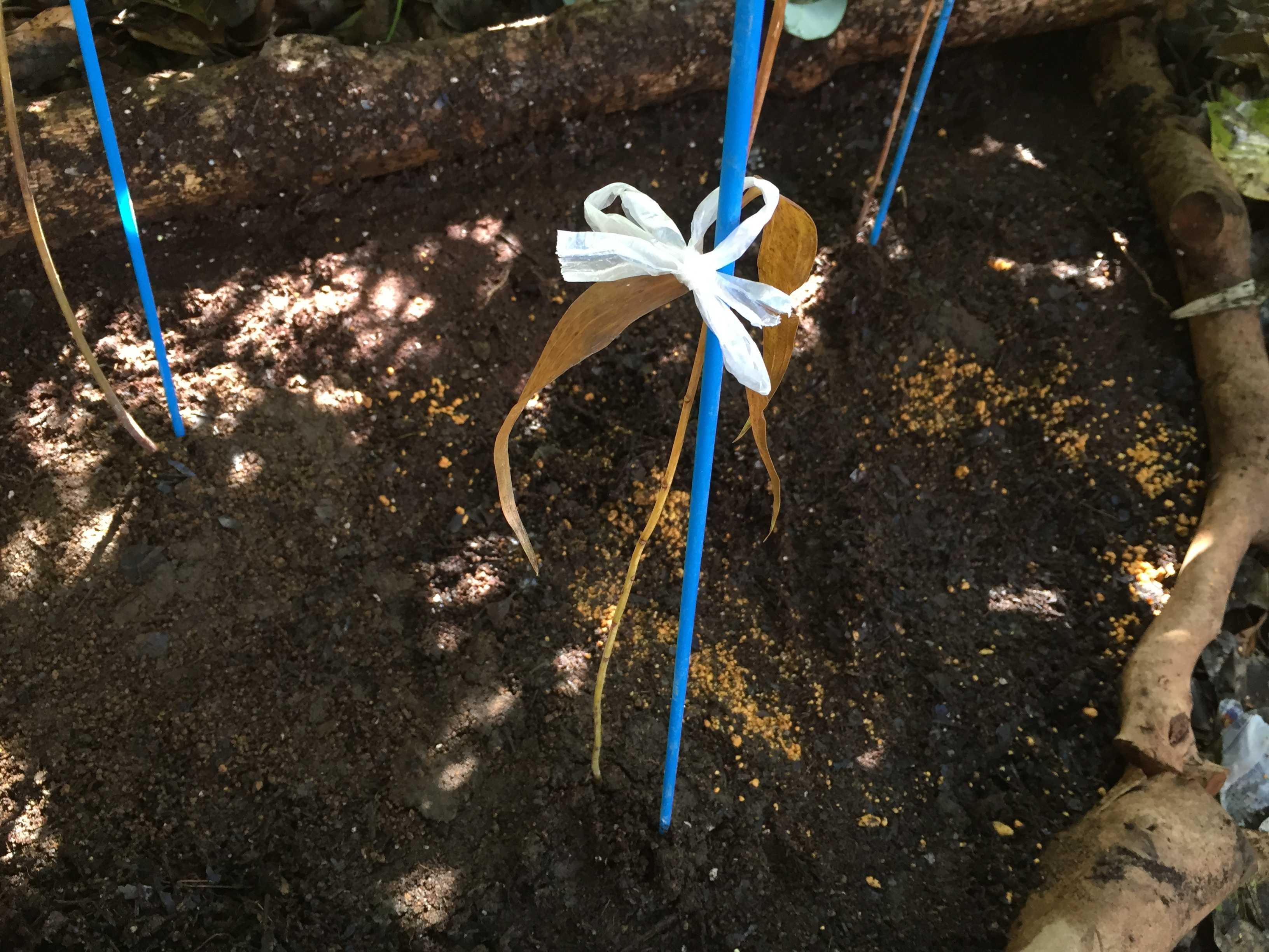 ヤマユリ庭植え -