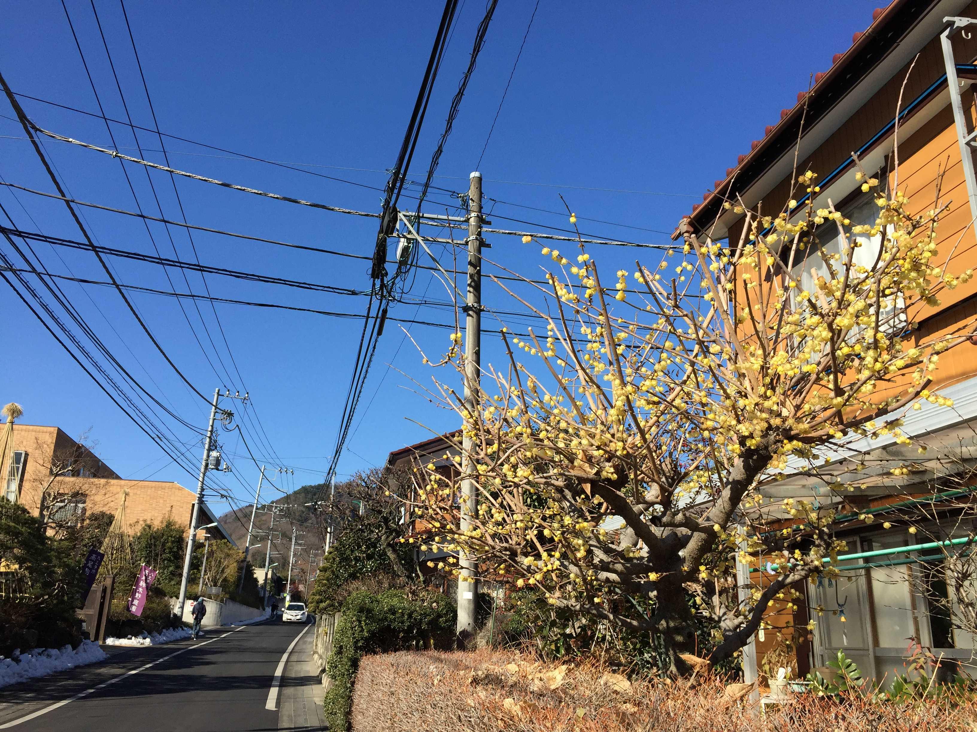 真っ青な空の下で咲く蝋梅(ロウバイ)