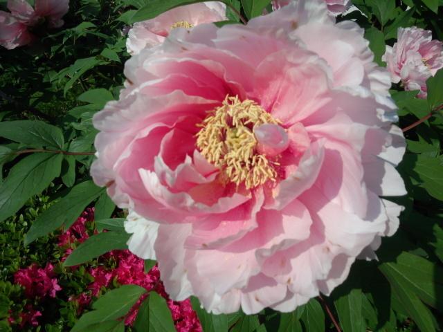 薄ピンクの牡丹
