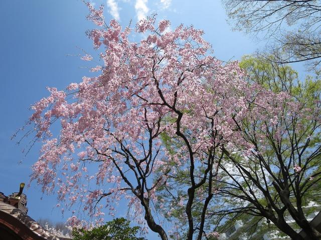 子安神社(東京都八王子市)のしだれ桜