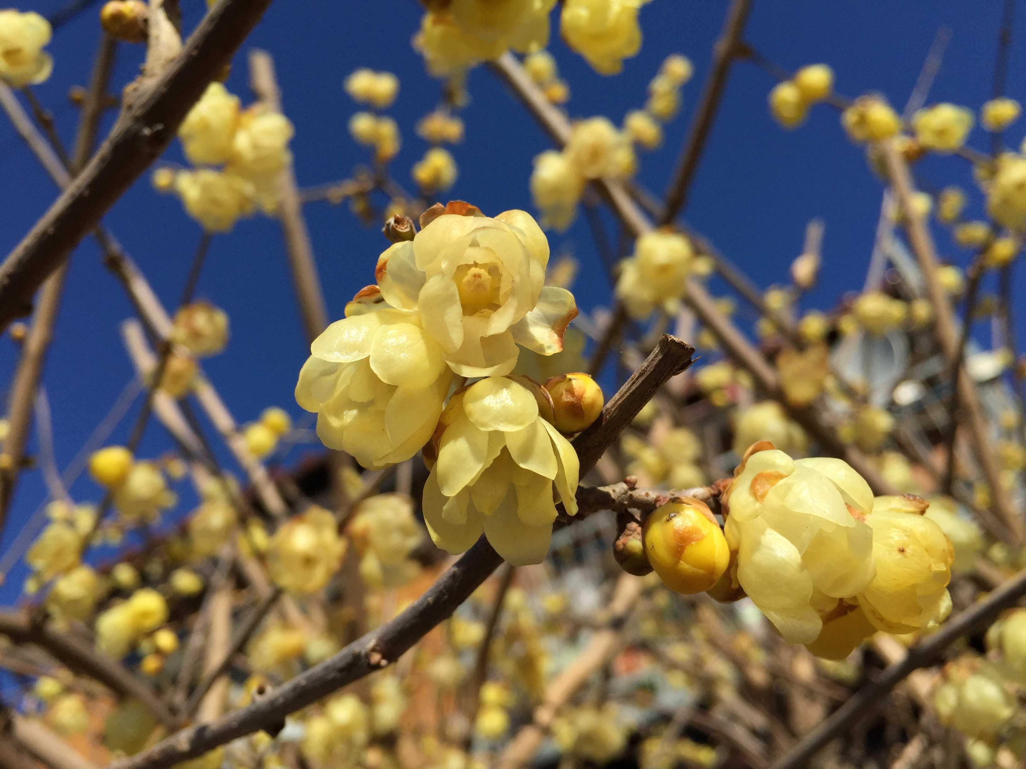 蝋梅(ロウバイ) の黄色い花