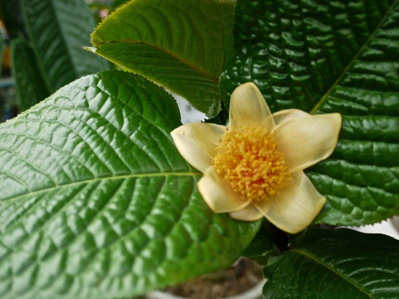 ベトナム産の黄色い椿 - ムラウチイ(ムラウチィ)