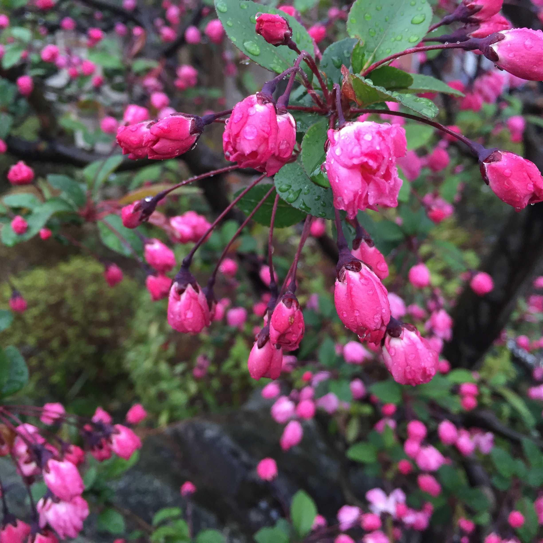 雨に濡れたハナカイドウ(花海棠)