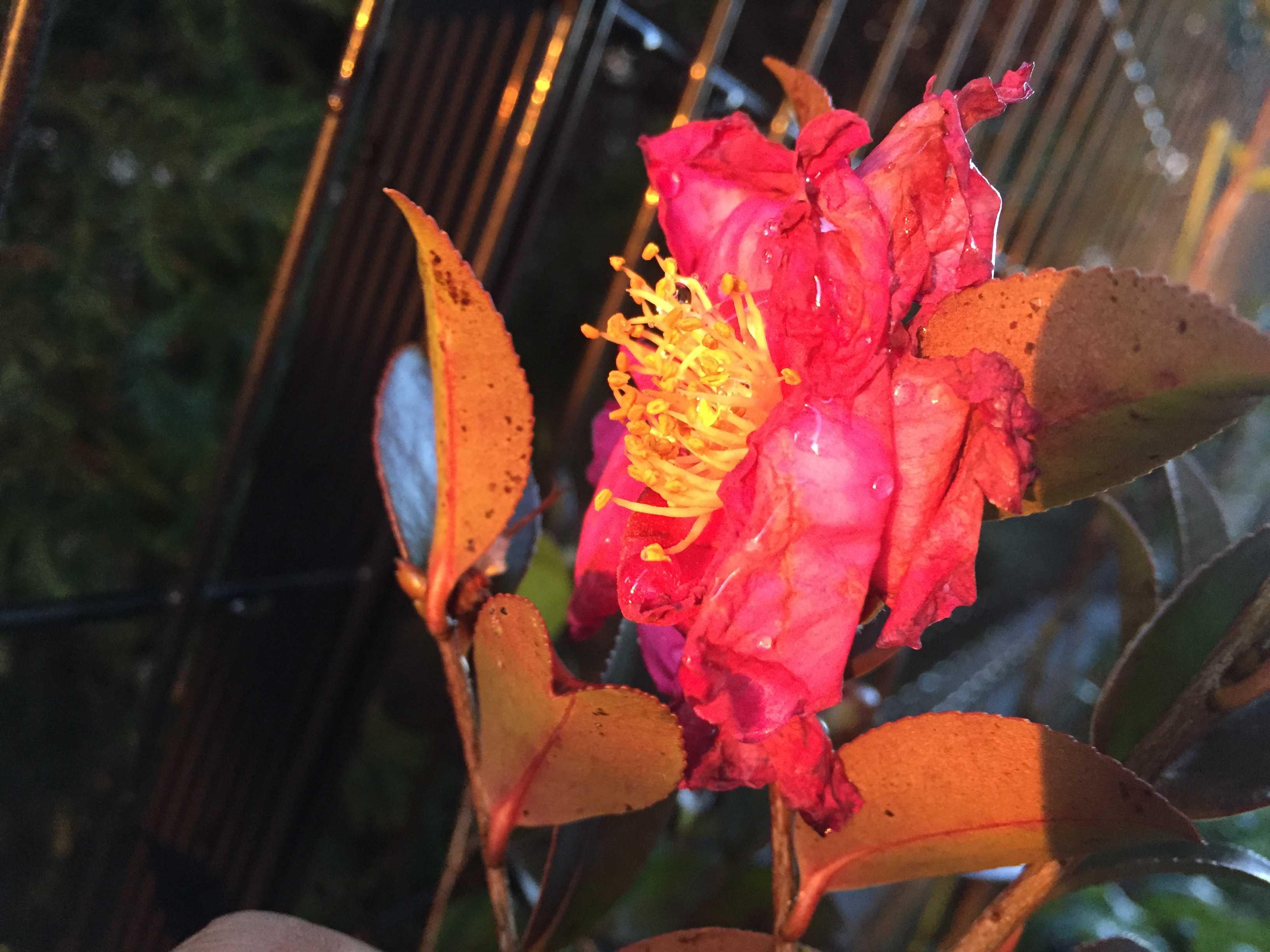 夕日に照らされる山茶花のタチカン(立寒椿)