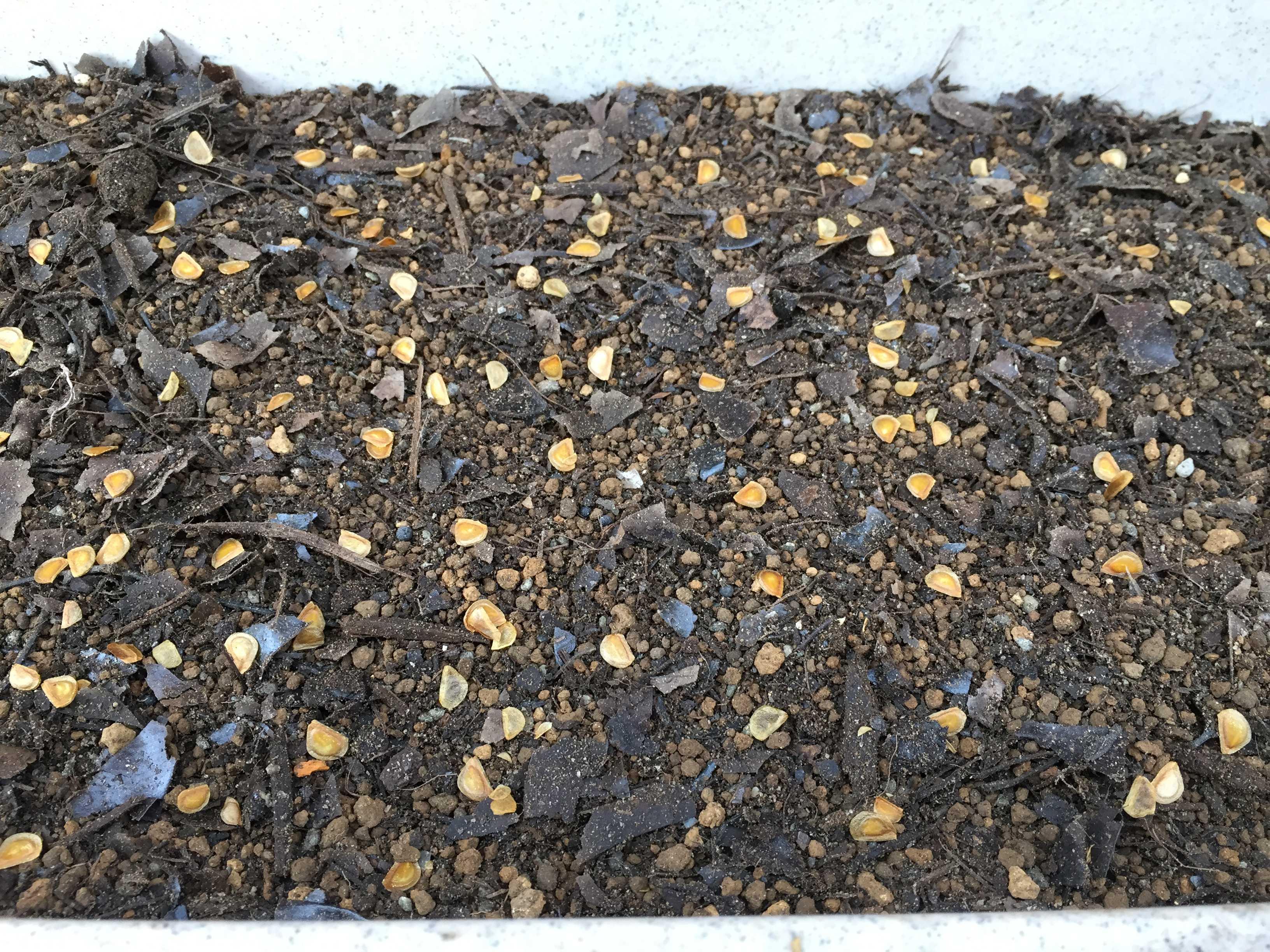 ヤマユリの種子繁殖/実生 - 播かれたヤマユリのタネ