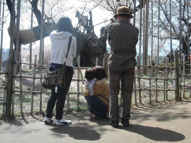 山高神代桜を拝む家族連れ