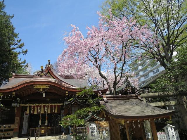 子安神社(東京都八王子市)の真っピンクの桜
