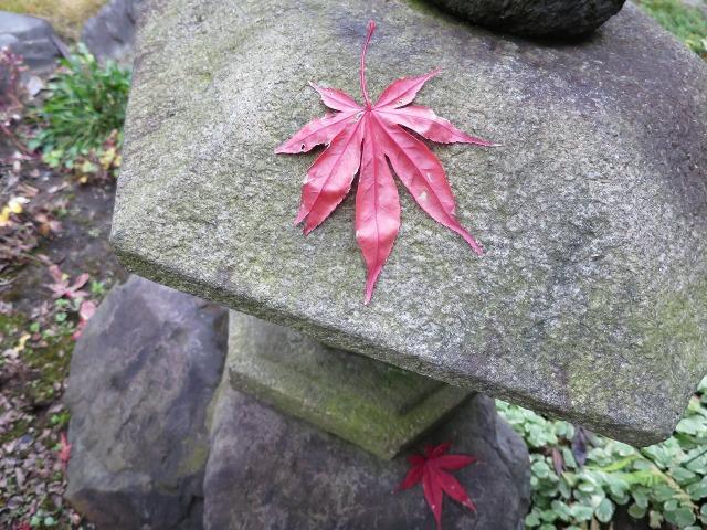 石灯籠の上のヤマモミジ(山紅葉)