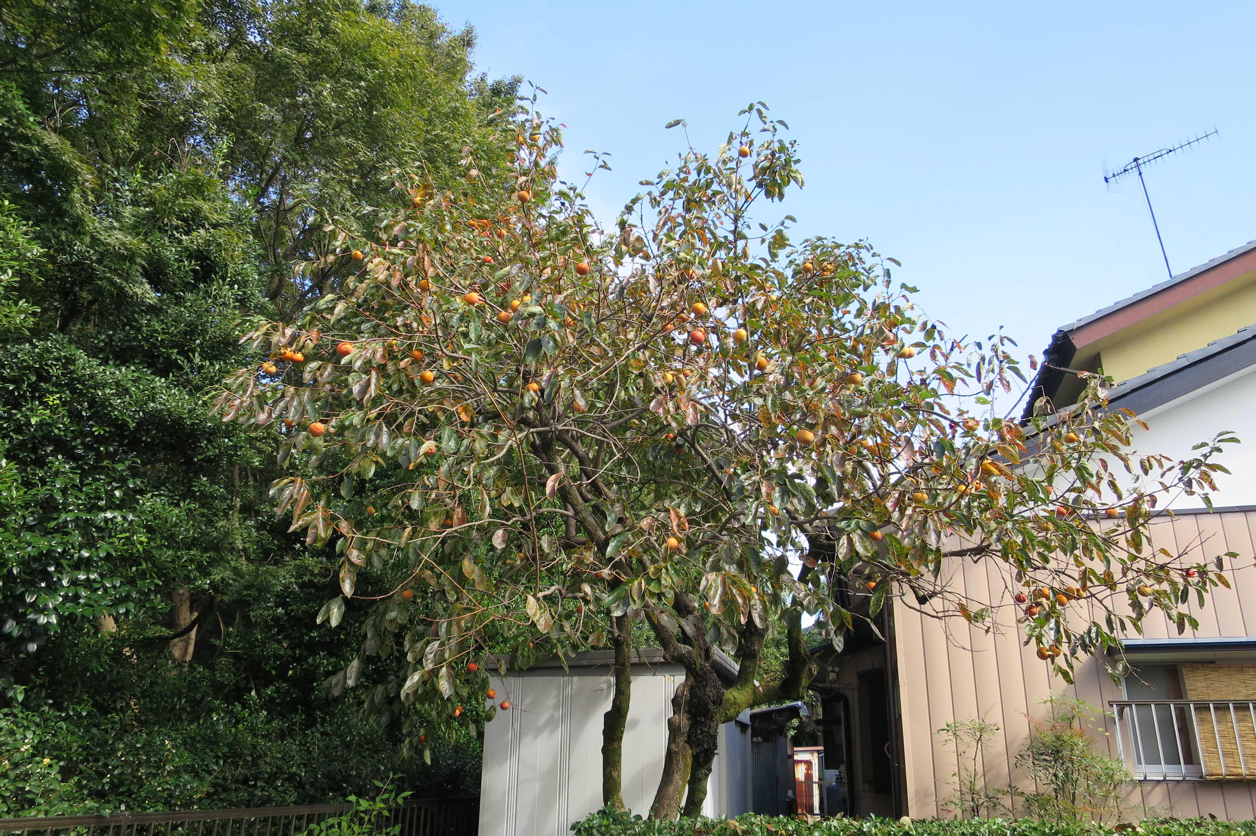 柿の木(相模原市)